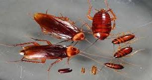 Cucaracha Alemna