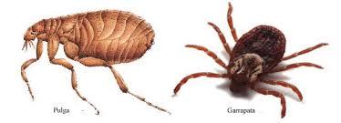 pulga y garrapata